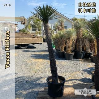 ユッカ・フィリフェラ 1.6m|YF16(1年枯木保証付)の商品画像