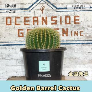 ゴールデン バレル カクタス 直径約35cm(金鯱サボテン)屋外用|GB13の商品画像