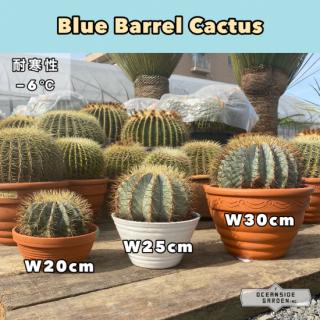 ブルー バレル カクタス 25cm前後(王冠竜)|BB25の商品画像