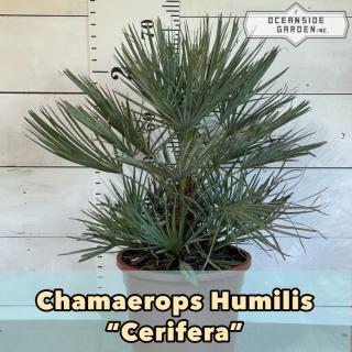 チャメロプス セリフェラ|50cm の商品画像