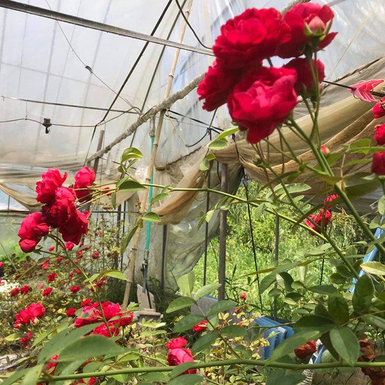 薔薇が咲いている写真