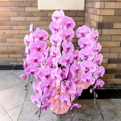 ピンク胡蝶蘭5本立
