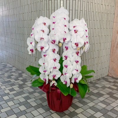 赤リップ胡蝶蘭5本立