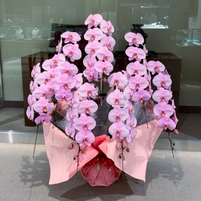 ピンク胡蝶蘭7本立