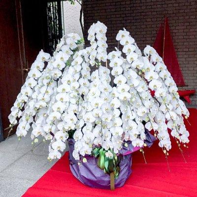 大輪白胡蝶蘭30本立