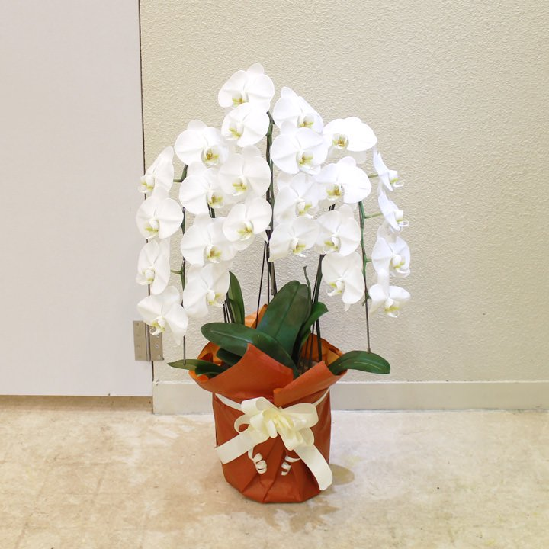 エコノミー胡蝶蘭3本立