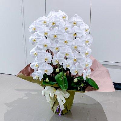 スタンダード胡蝶蘭3本立