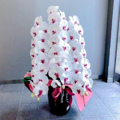 赤リップ胡蝶蘭3本立