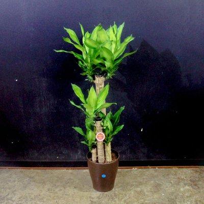 マッサン[幸せの木]