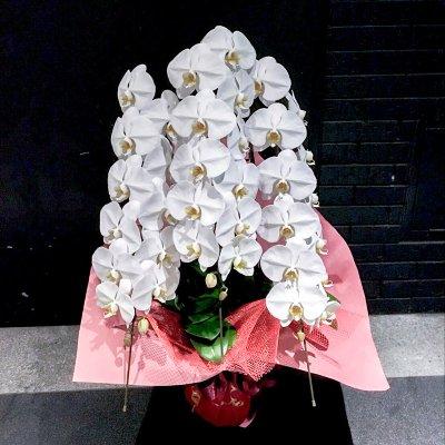 プレミアム胡蝶蘭3本立