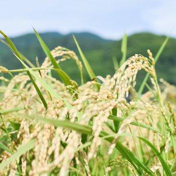 【受付12/15まで】周防大島の玄米10キロ・Organic Farm 村善【玄米】